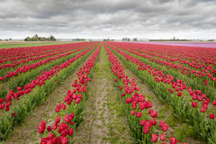 Tulips in the Skagit Valley Royalty Free Stock Photography