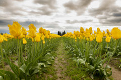 Tulips in the Skagit Valley Stock Photo