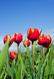 Tulips and sky. Red tulips on sky background Royalty Free Stock Images