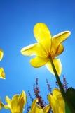 Tulips in sky Royalty Free Stock Photos