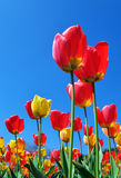 Tulips and sky Royalty Free Stock Image