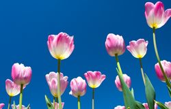 Tulips and sky Stock Photography