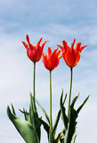 Tulips and sky. Glorious tulips set off against beautiful sky royalty free stock image