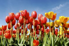 Tulips in the Sky. Bright red and yellow tulips standing tall in the sun stock image