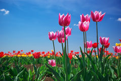 Tulips on sky Royalty Free Stock Photos