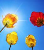 Tulips on sky background. Royalty Free Stock Photos