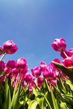 Tulips sky Royalty Free Stock Photo