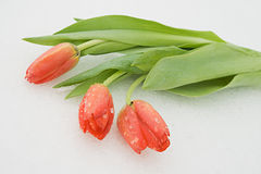 Tulips on snow Stock Image