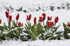 Tulips in a snow Royalty Free Stock Photo