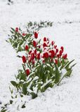 Tulips in a snow. Tulips fallen asleep by last snow of leaving winter Royalty Free Stock Photography