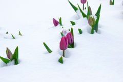 Tulips on snow background. Tulips growth on snow background Royalty Free Stock Photo