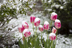 Tulips in the snow Royalty Free Stock Photo