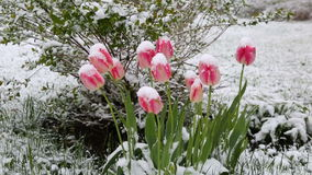 Tulips in the snow. Bad weather stock footage