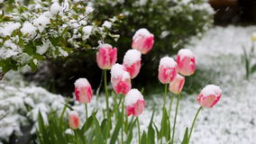 Tulips in the snow. Bad weather stock video footage