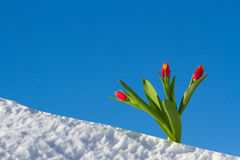 Tulips in the snow Stock Photography