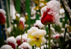 Tulips in a snow Stock Photography