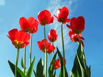 Tulips on snow. Red tulips in May blossom on snow Stock Image