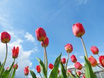 Tulips on snow. Red tulips in May blossom on snow Royalty Free Stock Photos