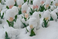 Tulips are in the snow Stock Photography