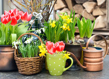 Tulips, snowdrops and narcissus blooms Royalty Free Stock Photo