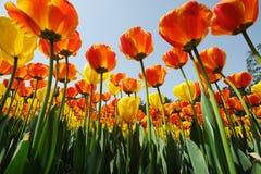 Tulips sob o céu azul Fotos de Stock Royalty Free