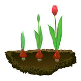 Tulips in the soil, growing flowers Stock Image