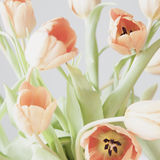 Tulips. Some fresh pale pink tulip flowers on grey background. selective focus. shallow depth of field Stock Photos