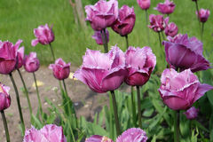 Tulips. Are some of the most popular spring flowers of all time, and the third most popular flowers world-wide next only to the Rose and Chrysanthemum.  come in royalty free stock photos