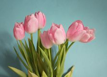 Tulips. Some pink tulips with with blue background Royalty Free Stock Photography