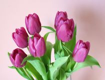 Tulips. Some purple tulips with pink background Stock Photography