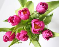Tulips. Some purple tulips with white background Stock Photos