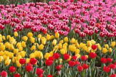 Tulips in the spring. Colorfur tulips in garden in spring Royalty Free Stock Photos