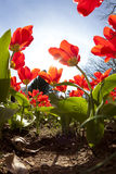 Tulips in spring Stock Photo