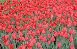 Tulips in Spring Royalty Free Stock Photos