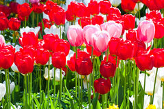 Tulips in spring. Stock Image