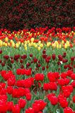 Tulips in Spring. Rows of Colorful Tulips Blooming in Spring royalty free stock photos