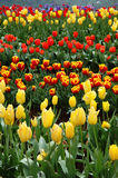 Tulips in Spring. Rows of Colorful Tulips Blooming in Spring stock photos