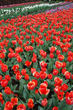 Tulips in Spring. Rows of Colorful Tulips Blooming in Spring stock photography