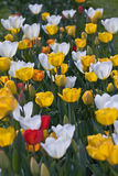 Tulips in spring. White, yellow and red tulips in the garden in spring captured  with selective focus royalty free stock images