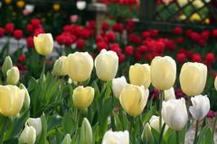 Tulips in spring. Yellow and white tulips blooming stock photography