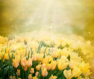 Tulips Spring Background Stock Photography