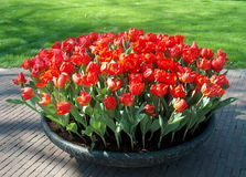 Tulips. Spring beautiful red tulips bouquet stock photography
