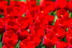 Tulips in the spring bloom Stock Photo