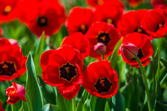 Tulips in the spring bloom Royalty Free Stock Photo