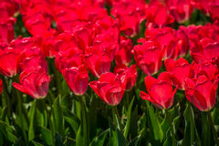 Tulips in the spring bloom Royalty Free Stock Image