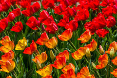 Tulips in the spring bloom Royalty Free Stock Photos