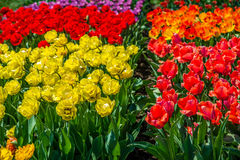 Tulips in the spring bloom Royalty Free Stock Photography