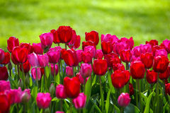 Tulips in Spring Stock Image