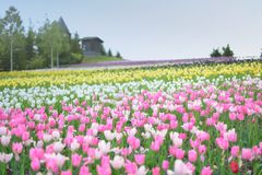 Tulips in spring Royalty Free Stock Photography