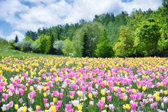 Tulips in spring, colorful tulips Royalty Free Stock Photography